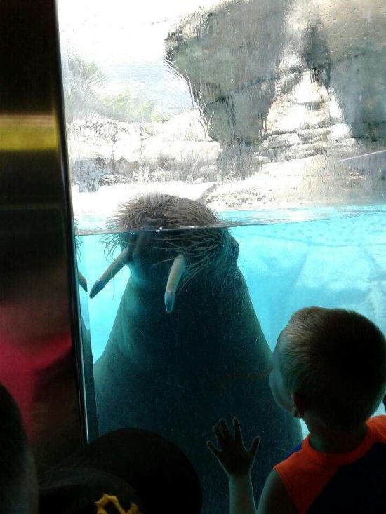 Walrus at Attention!