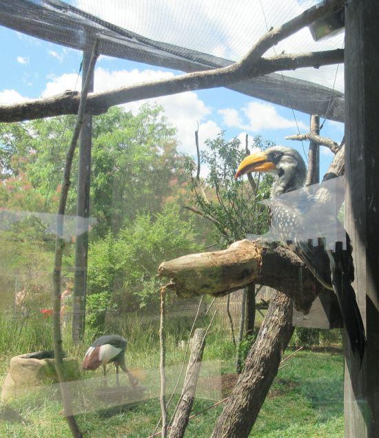 yellow-billed hornbill!