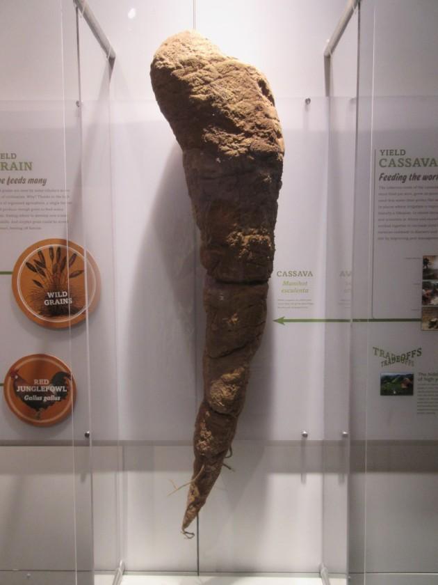 Cassava!
