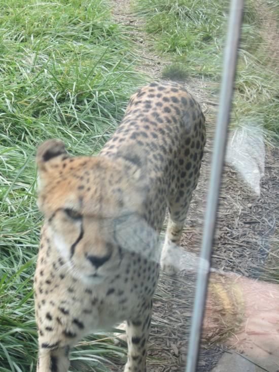 cheetah angry!