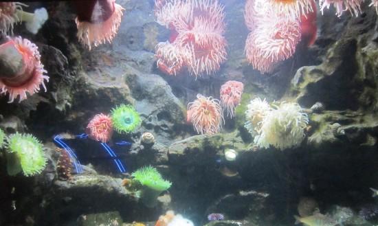 anemones!