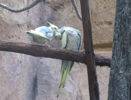 birds grooming!