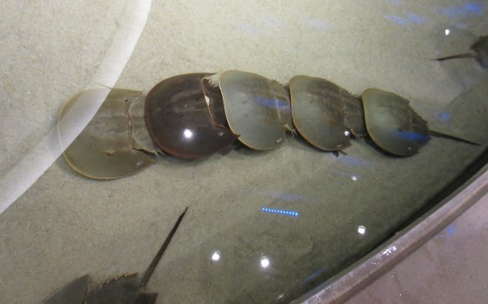 horseshoe crab conga!