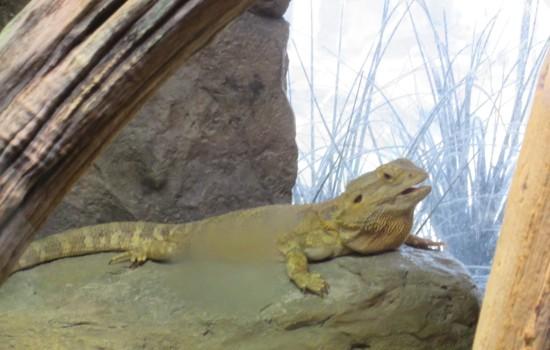 Puffy lizard!
