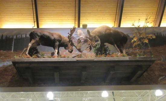 moose fight!