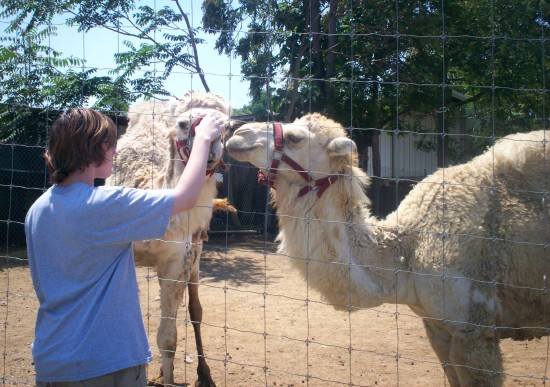 llama feeding!