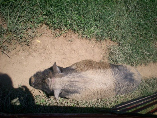 piggy sleeping!