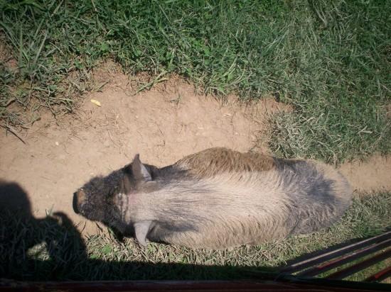piggy sleeping!