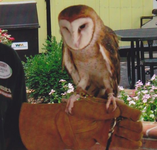barred owl!