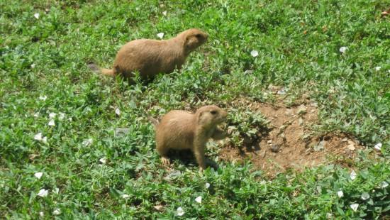 prairie dogs!