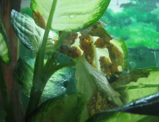 Panamanian golden frogs!