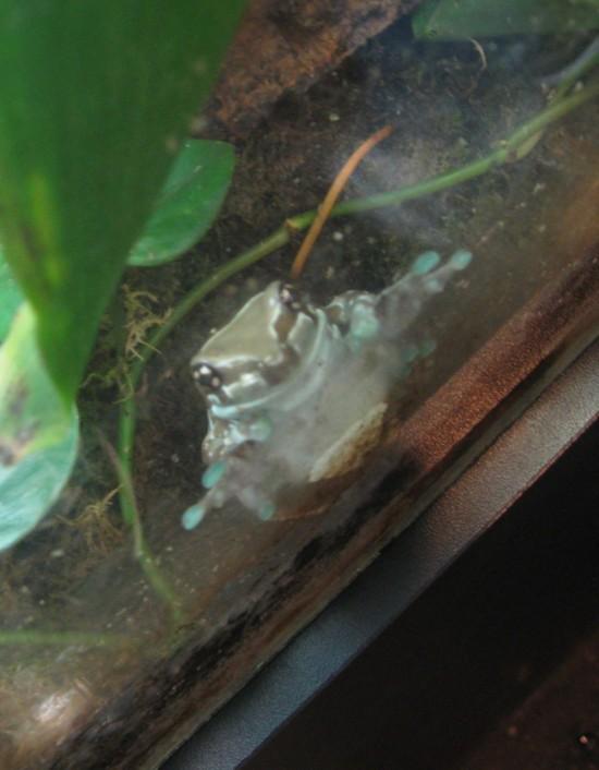 hourglass tree frog!