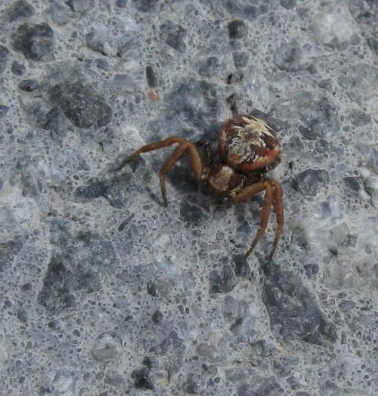 Brown Spider!
