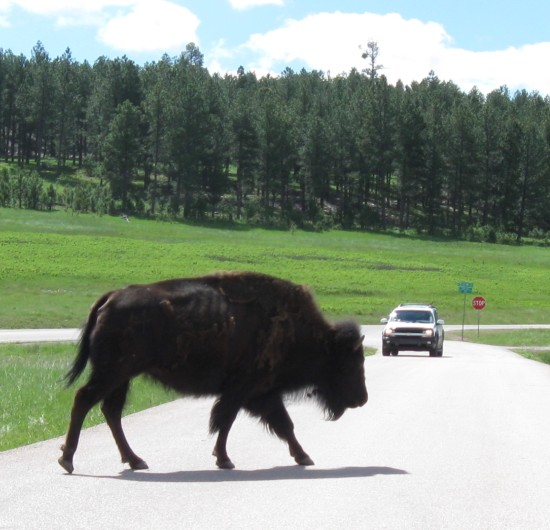 bison crossing!