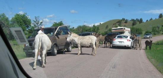 burros in traffic!