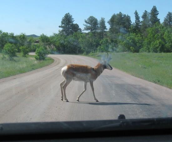 pronghorn antelope!