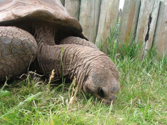 tortoise grazing!