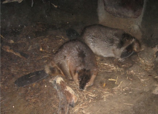 beavers!