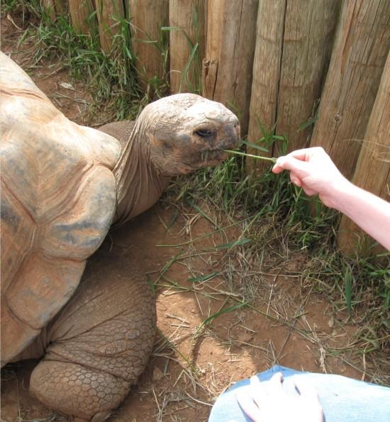 tortoise feeding!