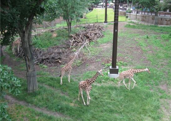 giraffes below!