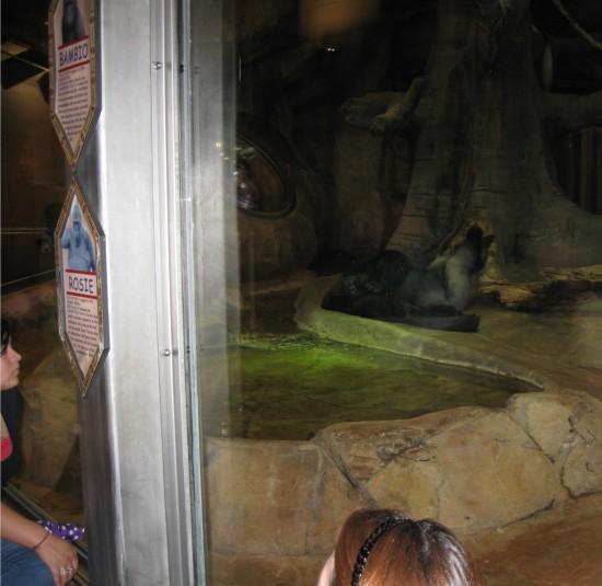 Rosie the gorilla!