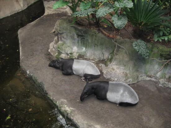 tapirs!