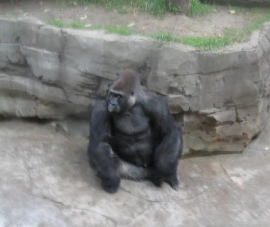 weeping gorilla?