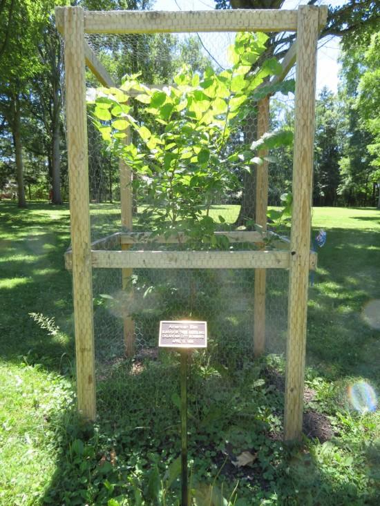 OKC bombing survivor tree seedling!
