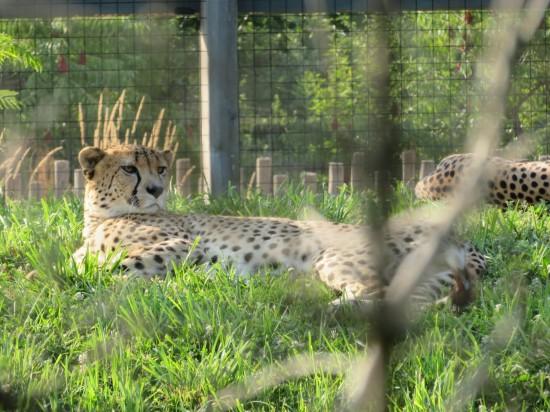 cheetah paranoid!