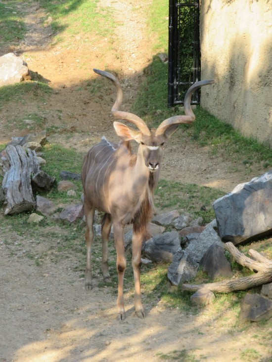 greater kudu!