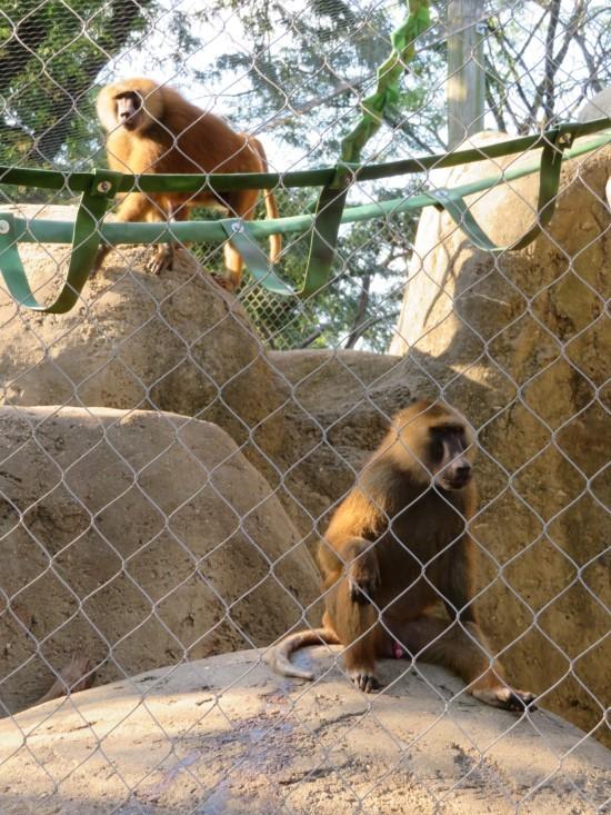 Guinea baboons!