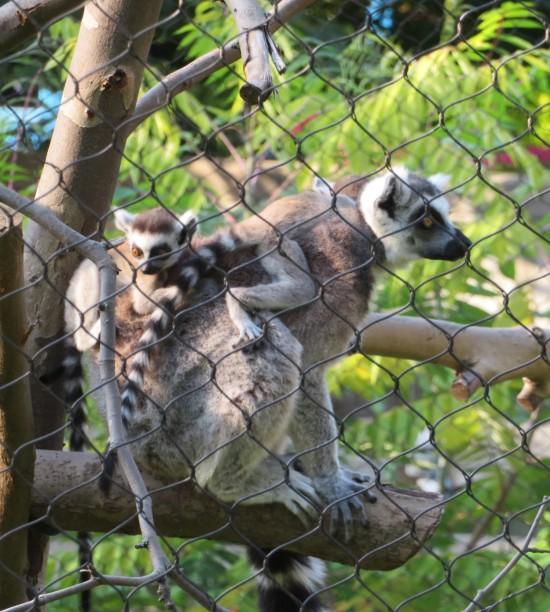 lemur baby!