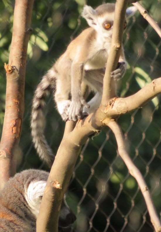 lemur + stick!
