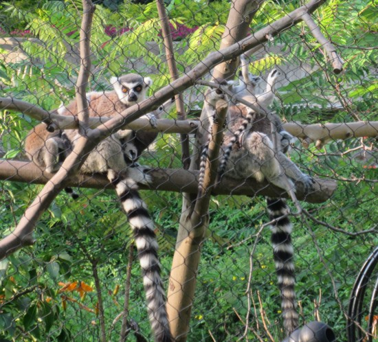 ring-tailed lemurs!