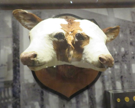 two-headed calf!
