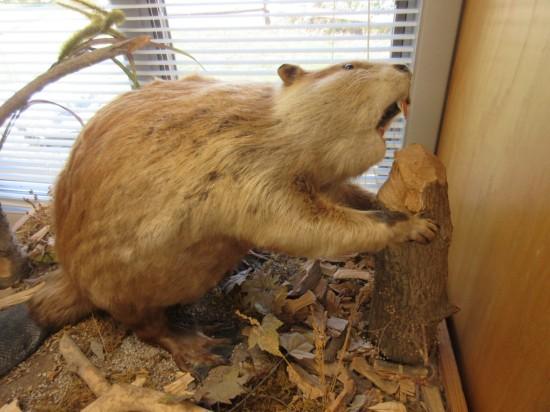 stuffed beaver!