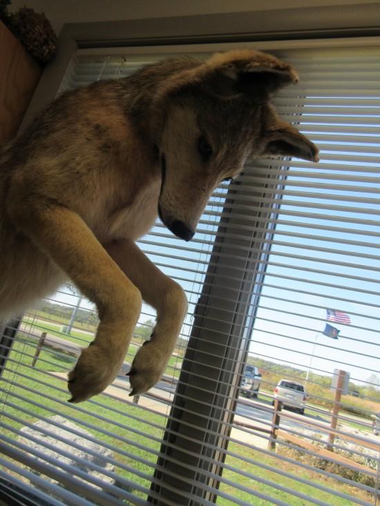 stuffed wolf!