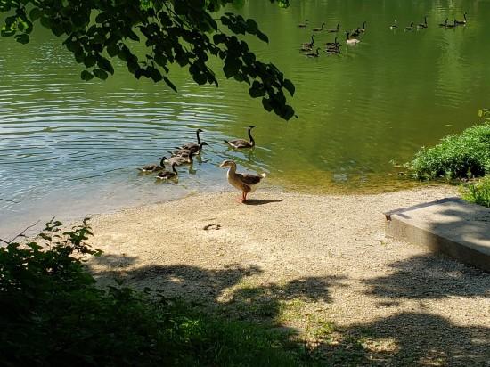 geese flock.