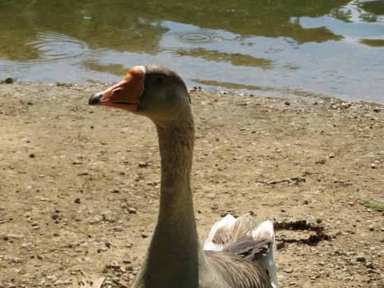 goose eye!