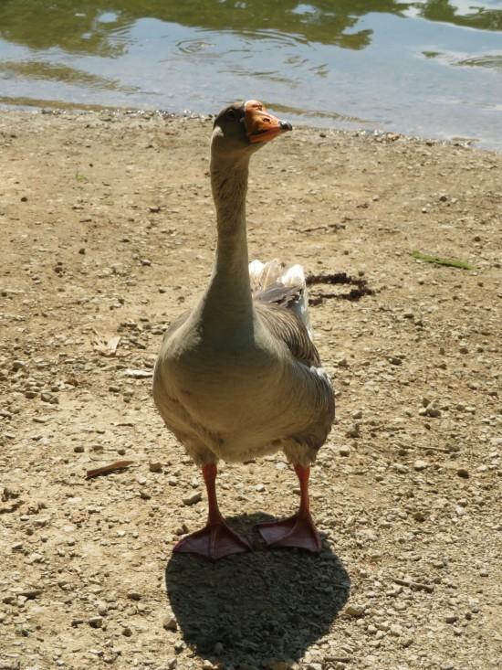 goose staring!