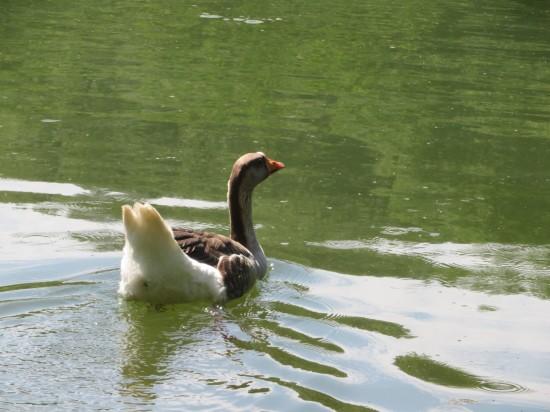 goose takeoff!