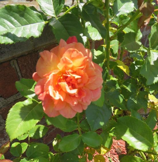 last rose!