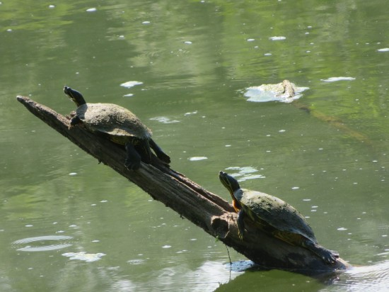 turtles on a branch!