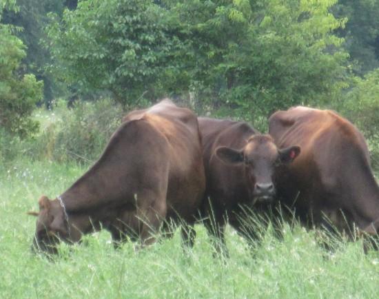 cow spotting me!