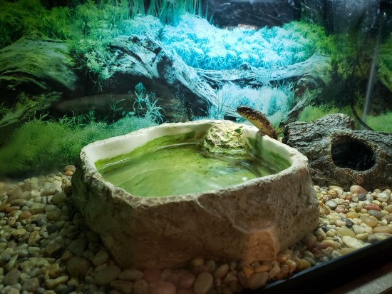 Midland Banded Water Snake!