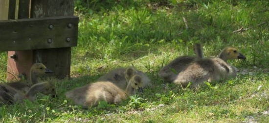 Canadian goslings.