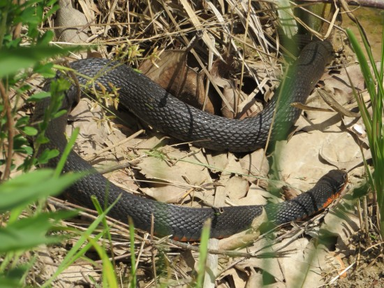 Muscatatuck northern copperbelly water snake.