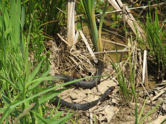 Indiana snake.
