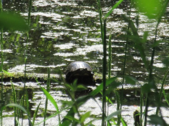 Turtle on a pond.
