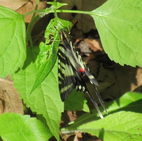 zebra swallowtail butterfly!